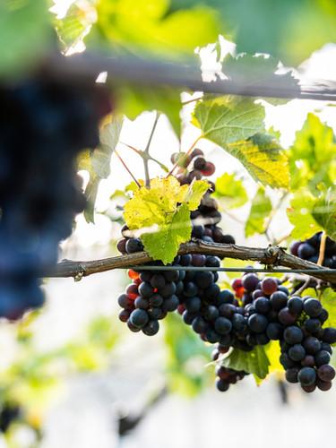 Wine grapes at Mount Macedon Winery