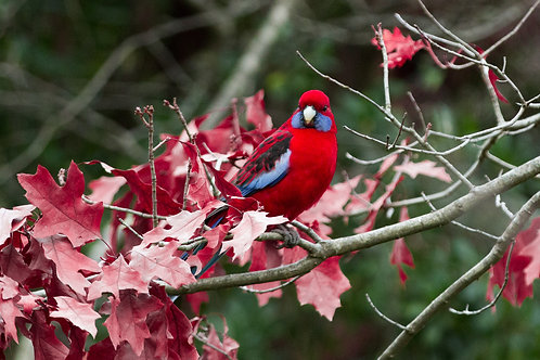 Crimson Rosella, Macedon