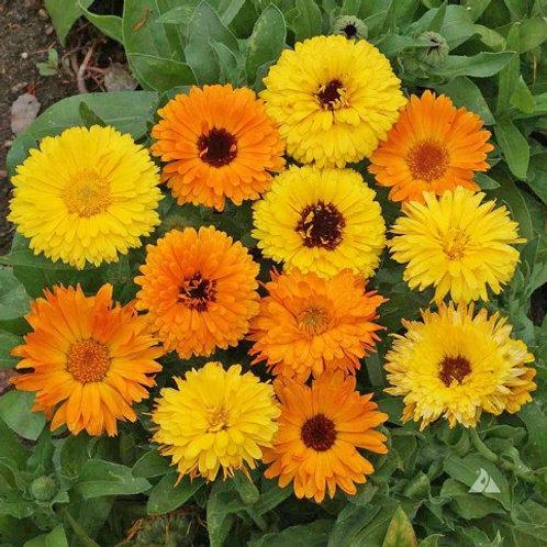 Calendula – Pacific Beauty Mixed (20 seeds)