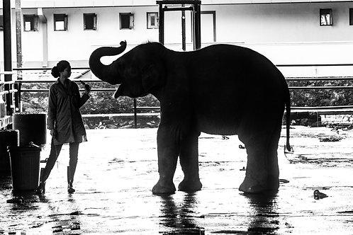 'Sri Lankan Elephant' Fine Art Print