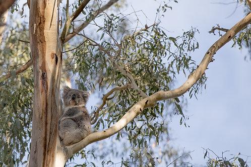 Koala in Macedon