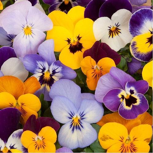 Viola – Bambini Mix  (100 Seeds)
