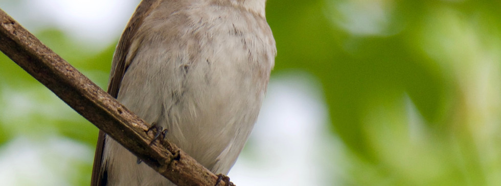 Asian Brown Flycatcher.jpg