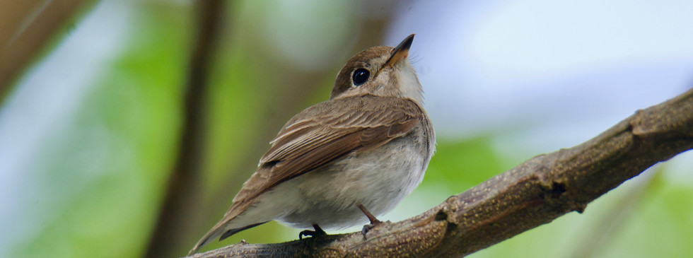 Asian Brown Flycatcher (2).jpg