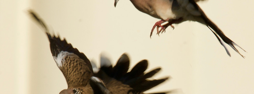 Dance of Spotted Doves 2_HCI_28Nov18.jpg