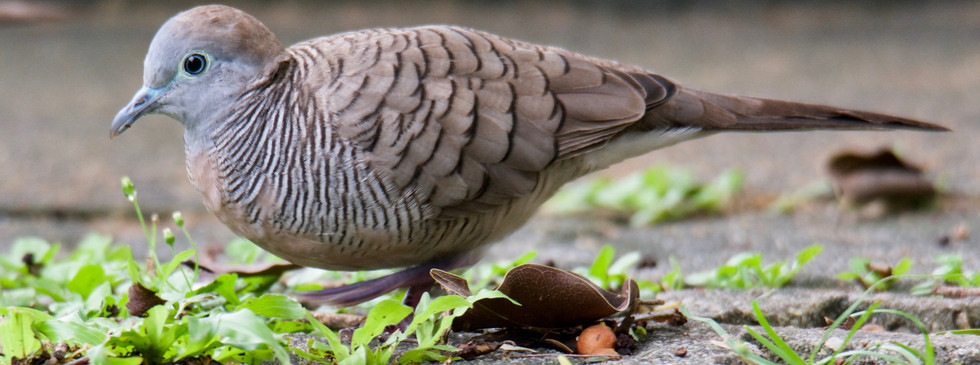 Zebra Dove 3_HCI_27Nov18.jpg