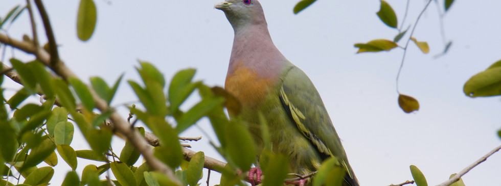 Pink-necked Green Pigeon (Male) (2) 2.jp