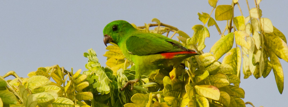 Blue-crowned Hanging Parrot Female_HCI_2