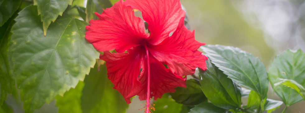 Copy of Hibiscus rosa-sinensis 2.jpg