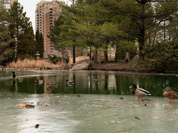 Haleema Raja - Ducks in November