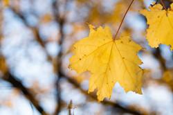 Yellow Leaf by Lauren Fernandez