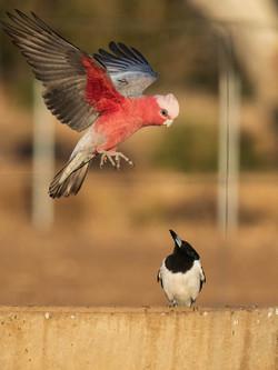 Galah and Butcher Bird
