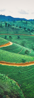 Sri Lanka Tea Plantation.jpg