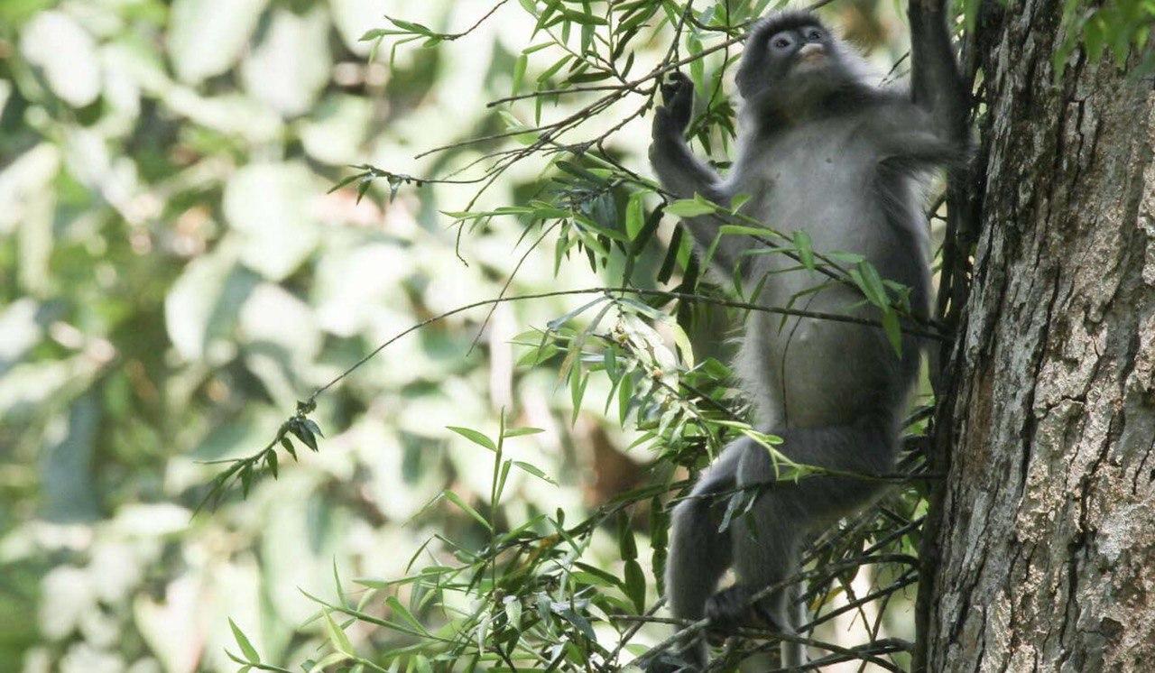 Gibbon Laos