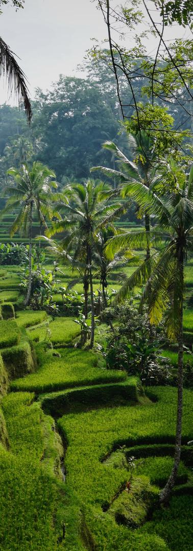 Tegalalang Ricefields.jpg