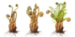 ferns growing.jpeg