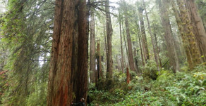 The astonishing redwoods