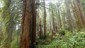 The astonishing redwoods