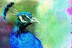 Peacock 3-2 copy.jpg