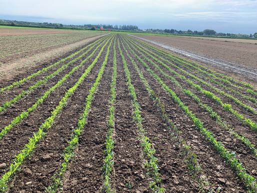The wonders of crop rotation :-)