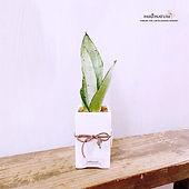 snake plant 3.jpg