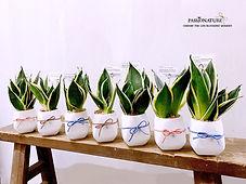 snake plant 5.jpg