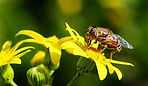 bee nectar2.jpg