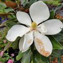 Magnolia Little gem.jpg