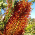 Banksia.jpg