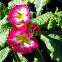 Polyanthus.jpg