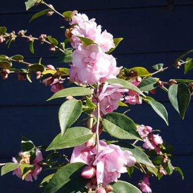 Camellia sasanqua.jpg