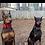M1-K9 Big Dog Tactical Collar Dobies Wearing