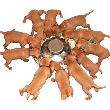 Puppy Weaning Pan Stainless  Puppies