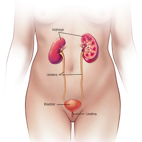 Urinary System A&P Editable Powerpoint