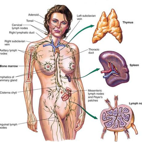 Lymphatic System A&P Editable Powerpoint
