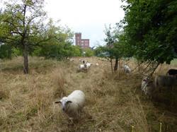 Klooster-schapen
