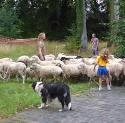 Intrede van de schapen