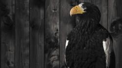 The-Eagle-02