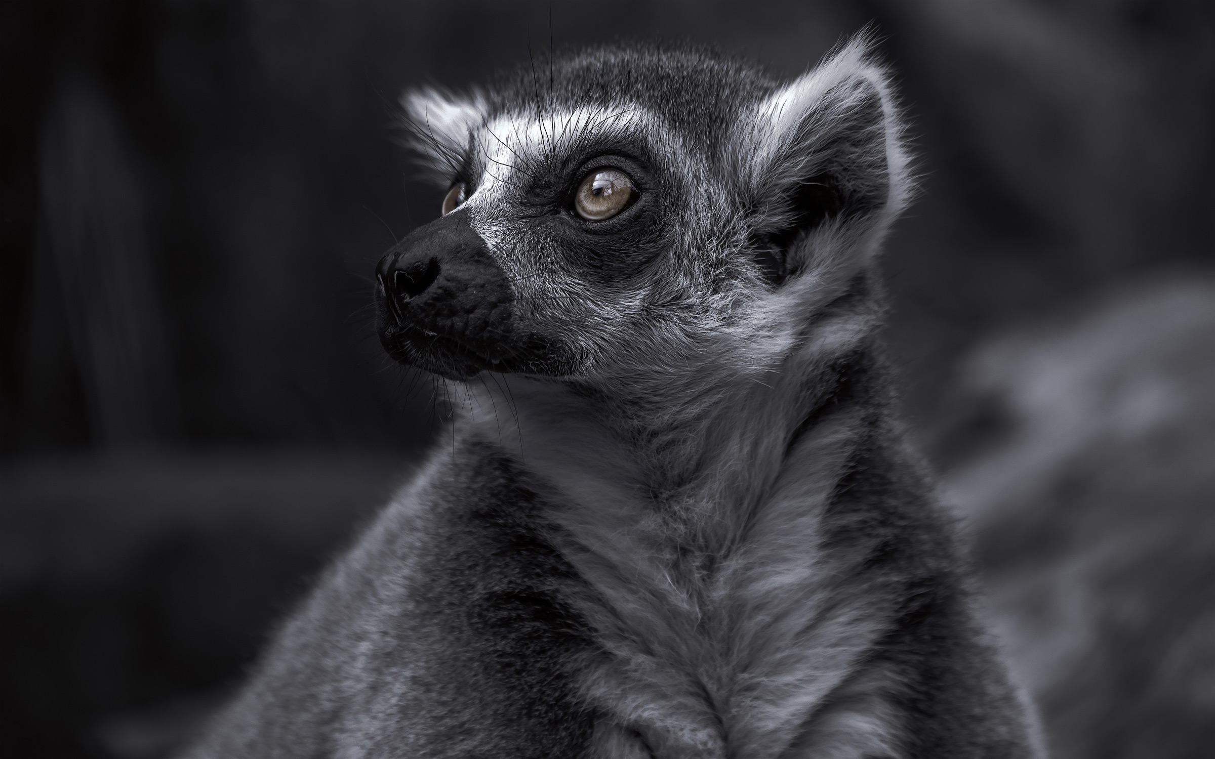 The-Lemur_03