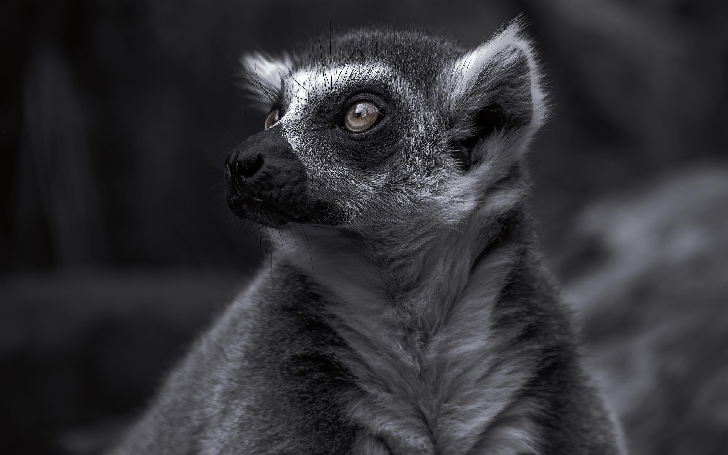 The-Lemur_03