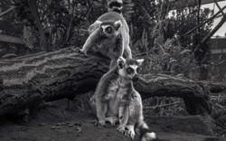Lemurs_01