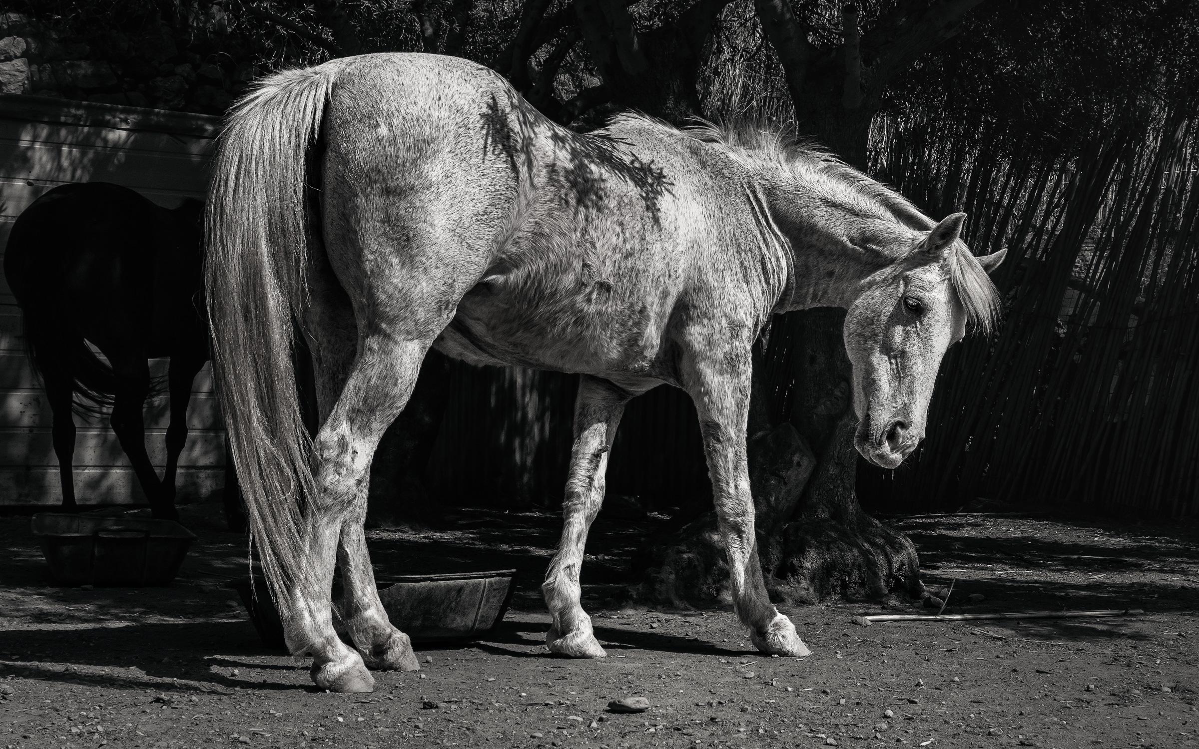 Cretan_White_Horse_02