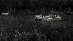The-Sheep
