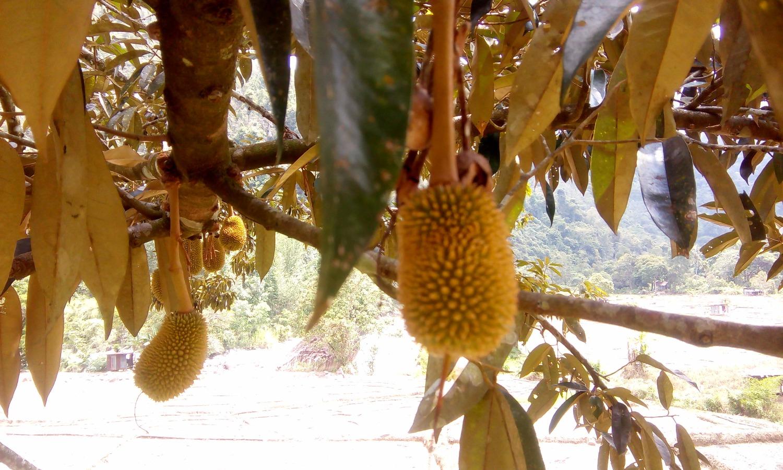 Bike Borneo baby Durian