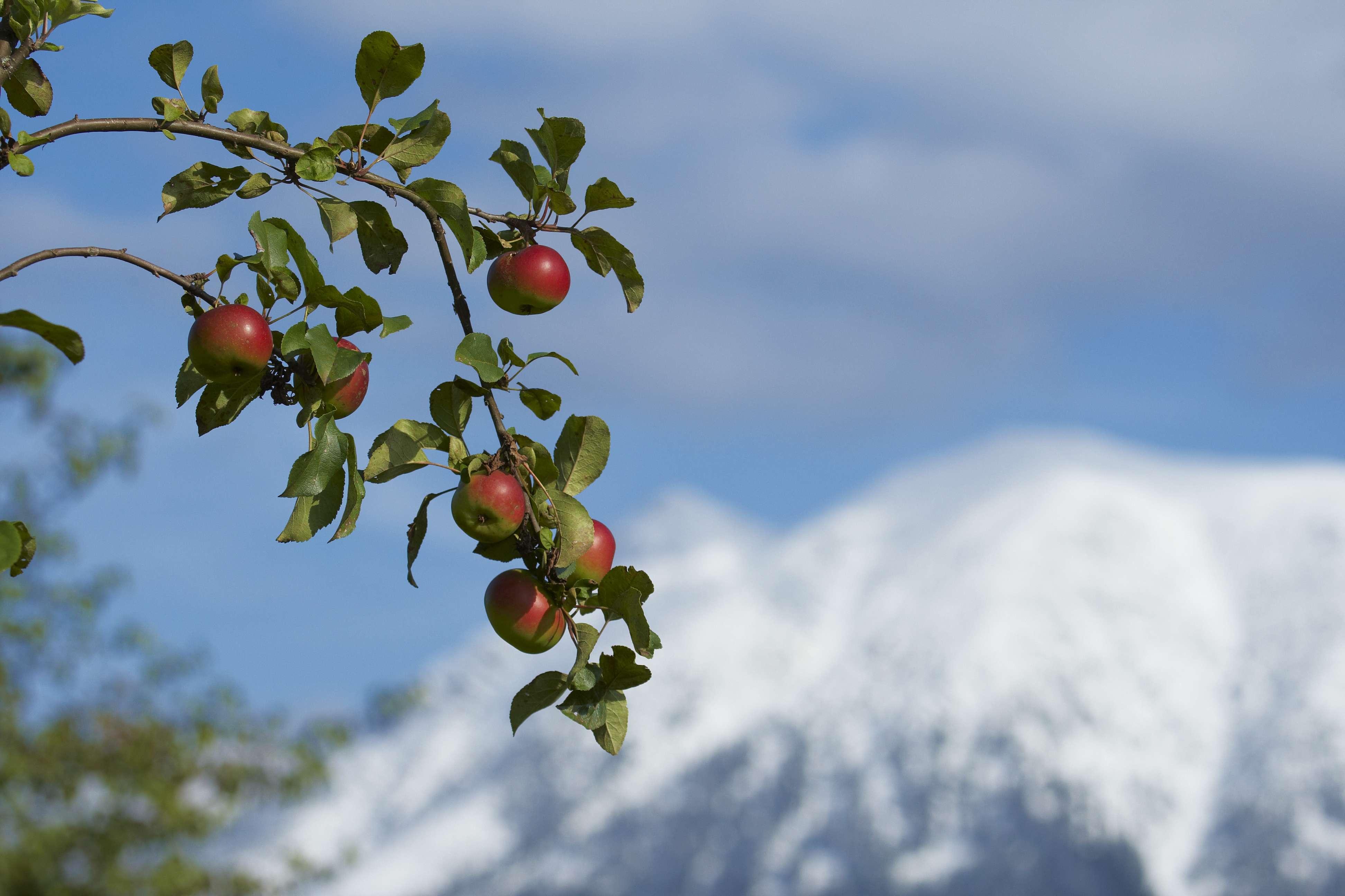 036_Herbstlandschaft Oetscher_erster Schnee_Apfelbaeume