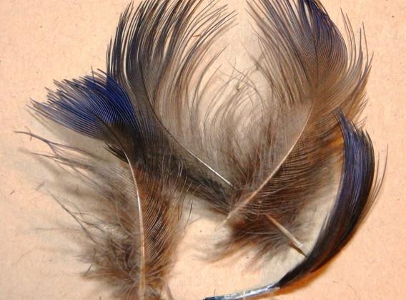 Pukeko flank feathers