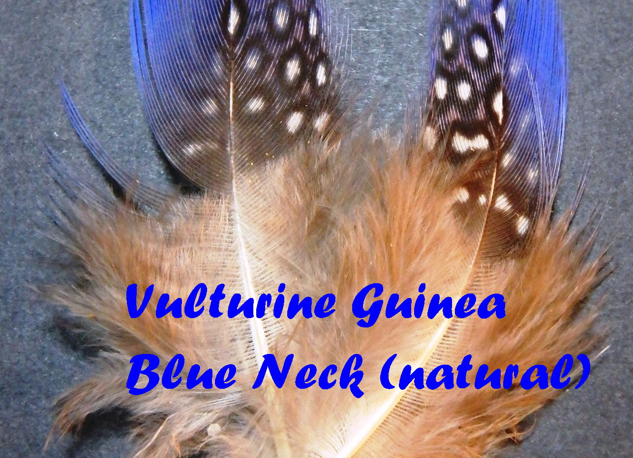 Vulturine Guinea blue neck feathers
