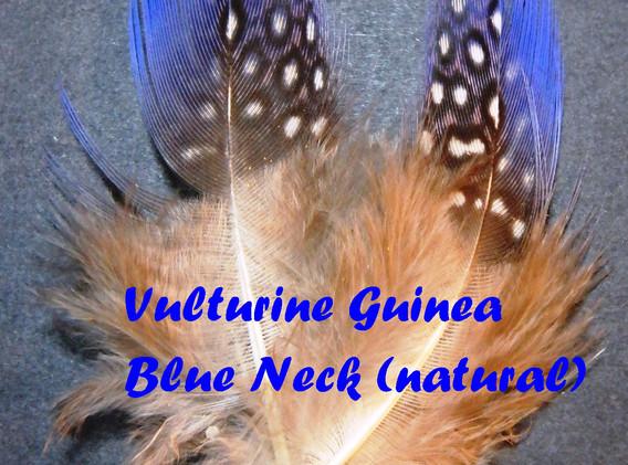 Vulturine Guinea blue neck feathers