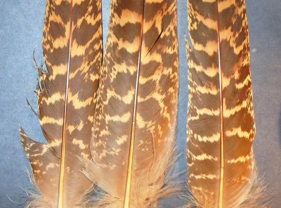 Impeyan Female Tails