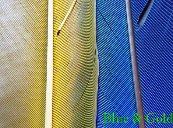 Blue & Gold (Yellow)